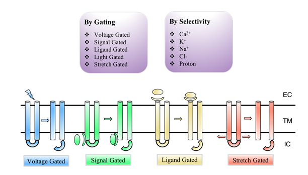 Different Ion Channel Gating Types