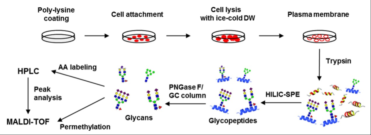 Overall strategy of a cell surface N-glycan analysis through the  adhesion-based isolation of the plasma membrane