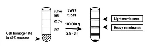 Subcellular fractionation of the cell homogenate from T lymphocyte  cells produced plasma membrane fractions with specific gravity of 1.034 –1.09  g/ml (light membranes) and 1.09 –1.136 g/ml (heavy membranes)n